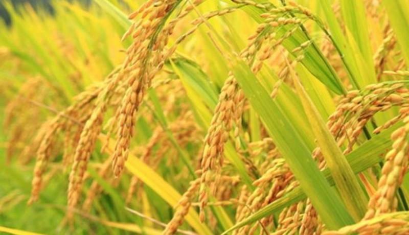 www.nusabali.com-kemarau-padi-di-dua-kecamatan-fuso