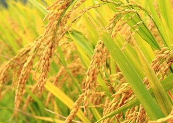 Nusabali.com - kemarau-padi-di-dua-kecamatan-fuso