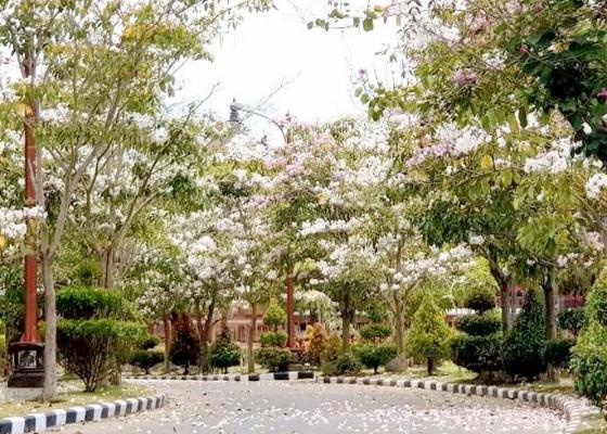 Nusabali.com - pohon-tabebuya-berbunga-puspem-dan-jalan-raya-sempidi-terlihat-asri