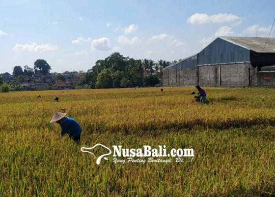 Nusabali.com - kekeringan-luas-lahan-yang-diajukan-klaim-capai-4837-ha