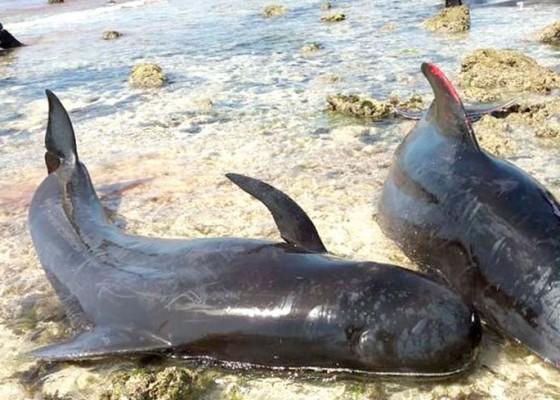 Nusabali.com - 17-paus-terdampar-di-perairan-sabu-raijua