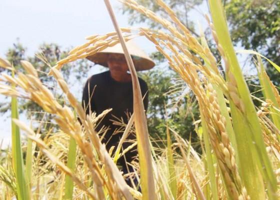 Nusabali.com - kinerja-petani-tingkatkan-ketahanan-pangan