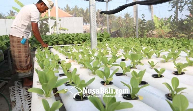 www.nusabali.com-sayur-hidroponik-sulit-pemasaran