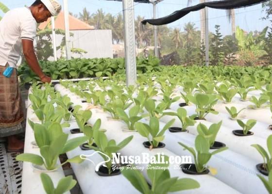 Nusabali.com - sayur-hidroponik-sulit-pemasaran