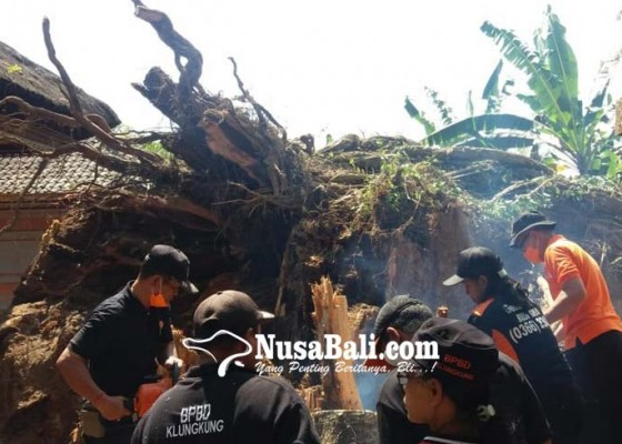 Nusabali.com - malam-sebelum-tumbang-pohon-sempat-munculkan-cahaya-kemerahan