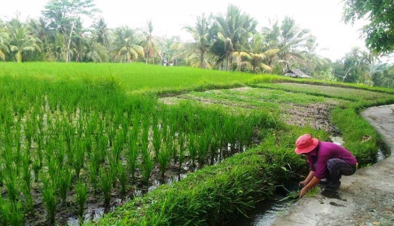 www.nusabali.com-air-irigasi-di-bangli-masih-normal