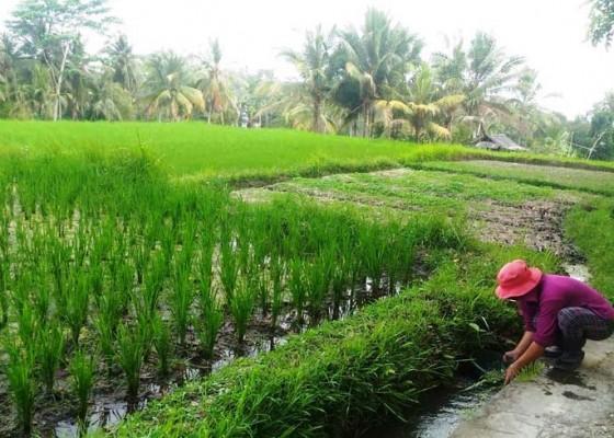Nusabali.com - air-irigasi-di-bangli-masih-normal