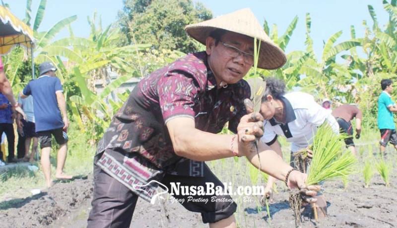 www.nusabali.com-padi-lokal-beras-merah-munduk-direkayasa-genetik