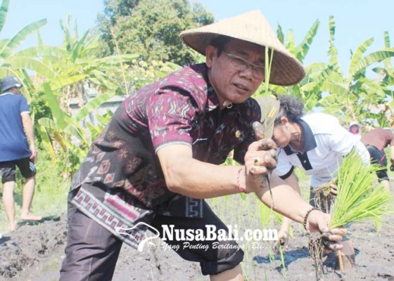 Nusabali.com - padi-lokal-beras-merah-munduk-direkayasa-genetik