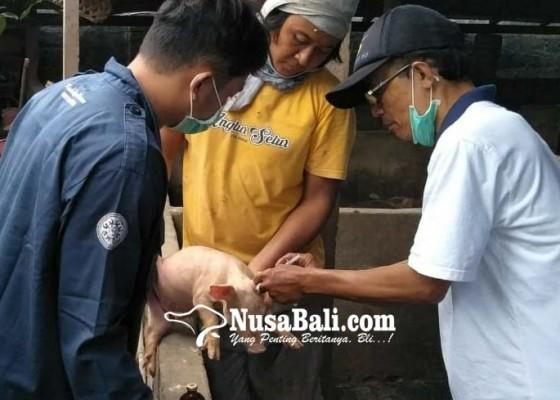 Nusabali.com - keswan-sukawati-antisipasi-virus-african-swine-serang-babi