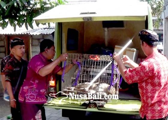 Nusabali.com - dipancing-kera-betina-kera-liar-berhasil-diamankan-warga