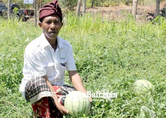 Nusabali.com - warga-kubu-tanam-semangka-di-lahan-gersang