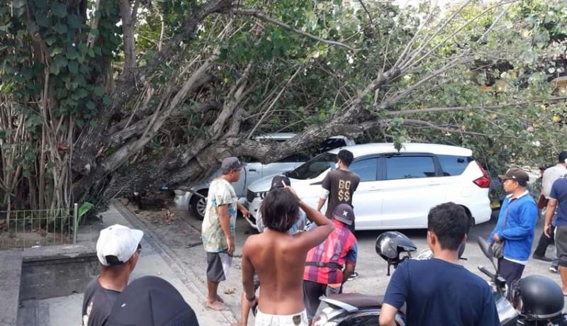 www.nusabali.com-pohon-waru-tumbang-timpa-dua-mobil