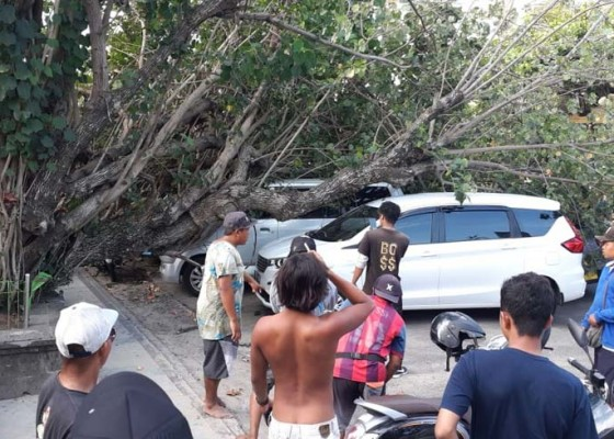 Nusabali.com - pohon-waru-tumbang-timpa-dua-mobil