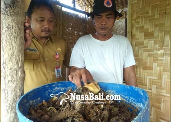 Nusabali.com - upaya-mengurai-sampah-organik-perbekel-dencarik-budidaya-maggot