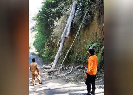Nusabali.com - angin-kencang-pohon-tumbang-tutup-jalan-di-petang