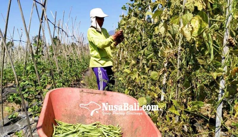 www.nusabali.com-kekeringan-petani-desa-bangli-beli-air-untuk-siram-tanaman-sayur