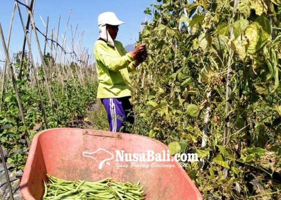 Nusabali.com - kekeringan-petani-desa-bangli-beli-air-untuk-siram-tanaman-sayur