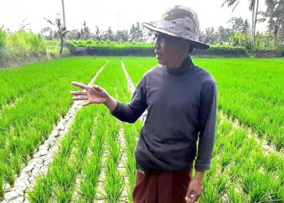 Nusabali.com - belasan-hektare-sawah-subak-tohpati-terancam-gagal-panen