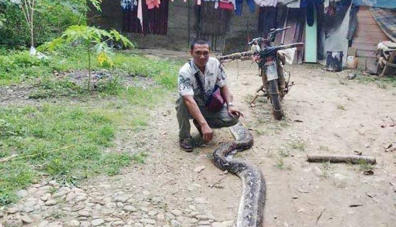 www.nusabali.com-selamatkan-istri-dari-lilitan-ular-piton-6-meter