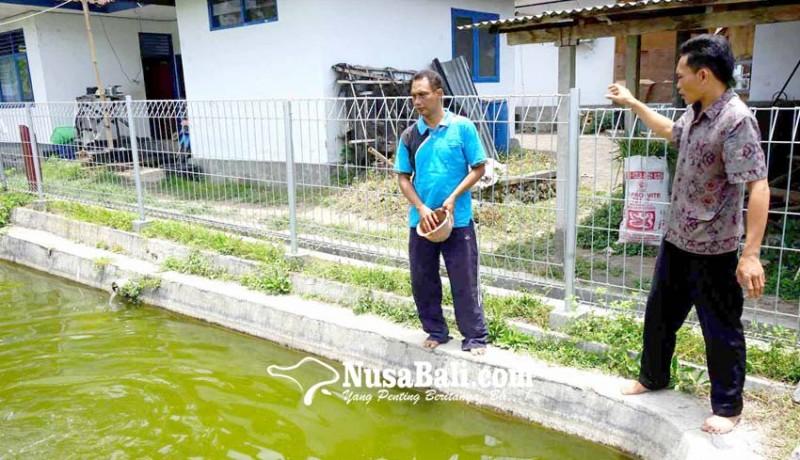 www.nusabali.com-kawanan-bangau-mangsa-bibit-ikan