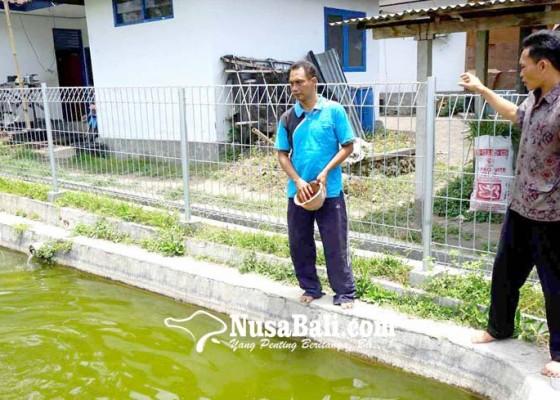 Nusabali.com - kawanan-bangau-mangsa-bibit-ikan