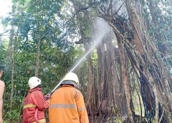 Nusabali.com - beringin-dan-rumpun-bambu-terbakar