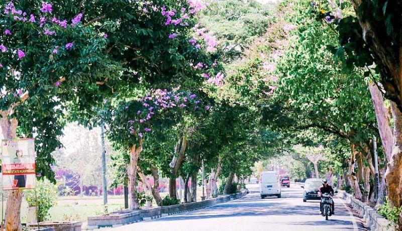 www.nusabali.com-percantik-wajah-kota-pohon-tabebuya-dan-tangi-mulai-berbunga