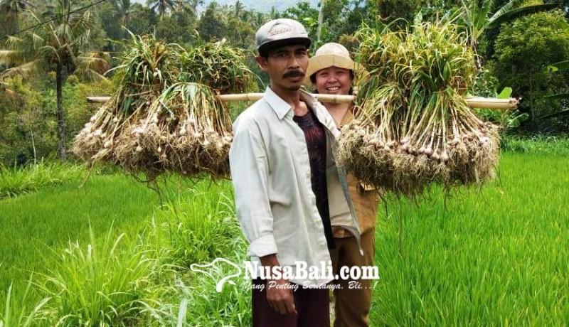 www.nusabali.com-wanagiri-dijadikan-penangkaran-benih-bawang-putih
