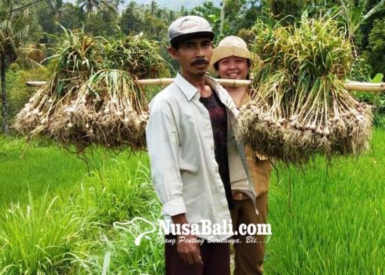 Nusabali.com - wanagiri-dijadikan-penangkaran-benih-bawang-putih