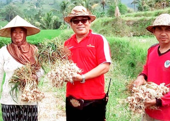 Nusabali.com - kemarau-panjang-hasil-panen-bawang-putih-tak-memuaskan