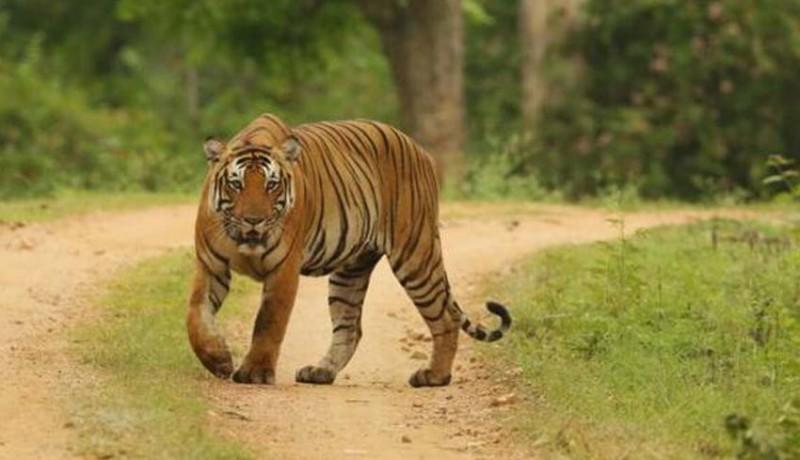 www.nusabali.com-petani-kopi-tewas-diterkam-harimau