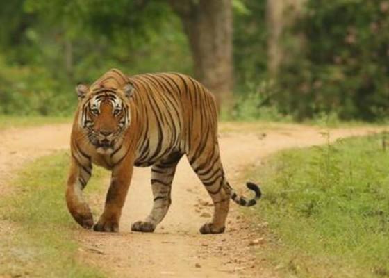 Nusabali.com - petani-kopi-tewas-diterkam-harimau