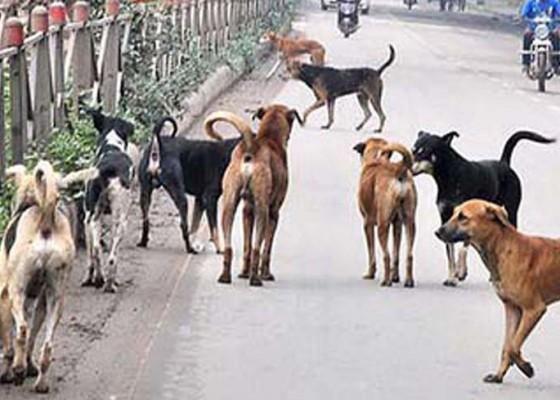 Nusabali.com - populasi-anjing-di-klungkung-menembus-21288-ekor