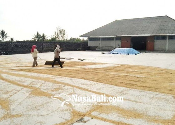 Nusabali.com - produksi-padi-meningkat-di-badung