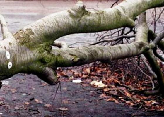 Nusabali.com - bpbd-tangani-3-pohon-tumbang