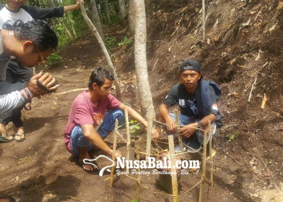 Nusabali.com - bunga-bangkai-bermekaran-di-sambangan