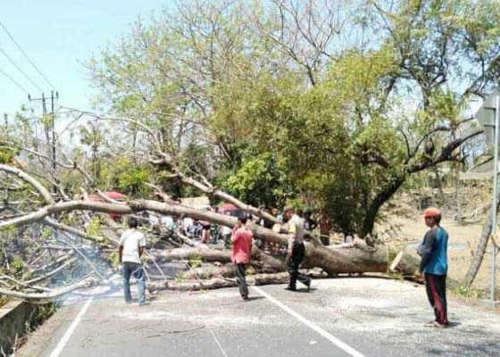 Nusabali.com - pohon-tumbang-arus-lalin-sempat-terhenti