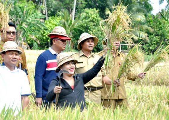 Nusabali.com - penanaman-padi-demfarm-green-fertilizer-sukses-di-tabanan