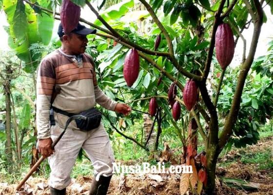 Nusabali.com - tahun-depan-71-subak-abian-kakao-ditarget-bersertifikasi-utz