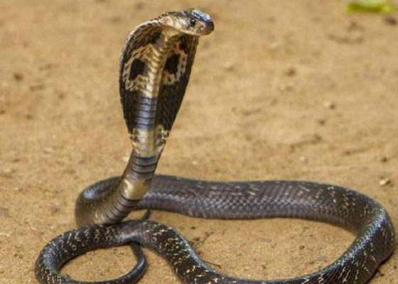 Nusabali.com - belasan-king-cobra-teror-warung-mi-ayam