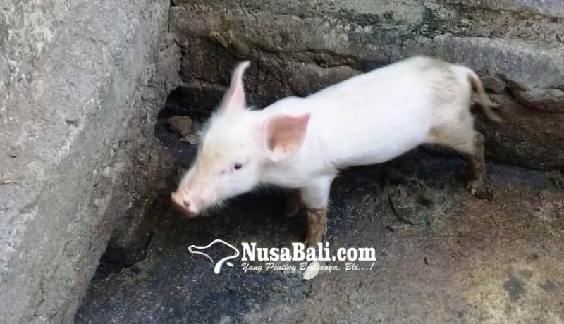 www.nusabali.com-pengadaan-dituding-asal-asalan-kucit-bantuan-mati