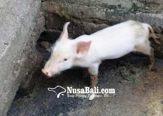 Nusabali.com - pengadaan-dituding-asal-asalan-kucit-bantuan-mati