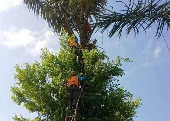 Nusabali.com - kesetrum-jasad-korban-nyangkut-di-pohon-enau