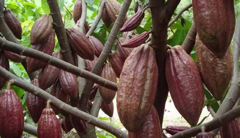 www.nusabali.com-harga-kakao-tembus-rp-50000kg