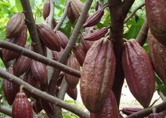 Nusabali.com - harga-kakao-tembus-rp-50000kg