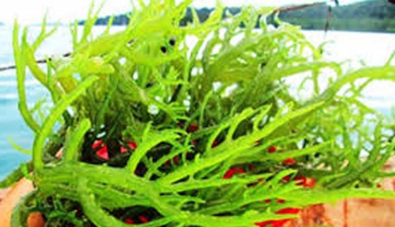 www.nusabali.com-rumput-laut-belum-terkelola