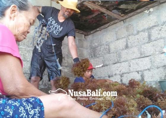 Nusabali.com - petani-rumput-laut-kembali-bersemangat