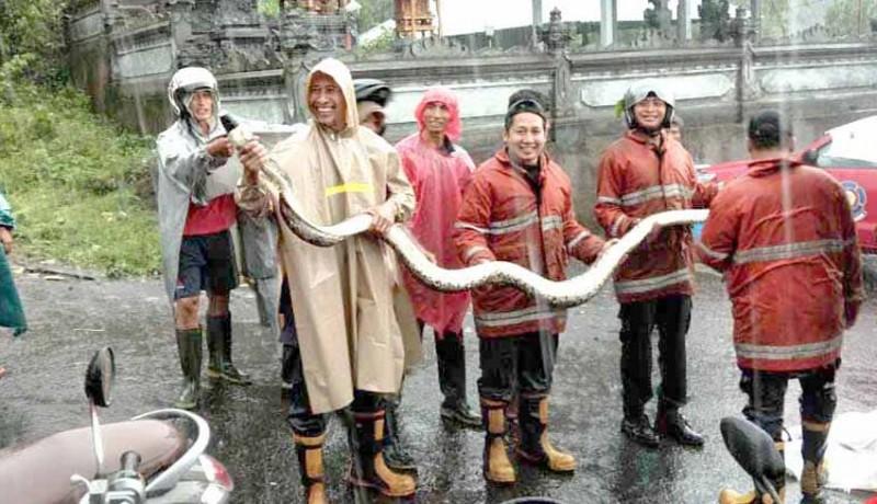 www.nusabali.com-petugas-damkar-tangkap-ular-piton