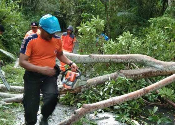 Nusabali.com - bpbd-kewalahan-evakuasi-pohon-tumbang